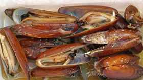 Datteri di mare, caratteristiche
