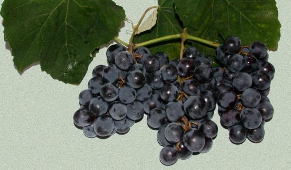 Il vino Fragolino