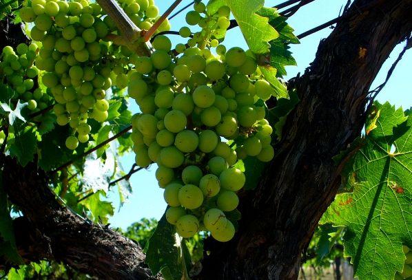 I vini  DOC dell'Aquila in Abruzzo
