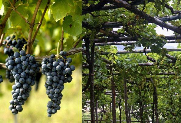 I vini DOC della Campania