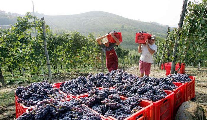 Vendemmia Piemonte da 4 stelle, al top Nebbiolo Langhe-Roero