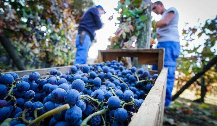 Il 'genome editing' del vino, applicazioni e perplessità