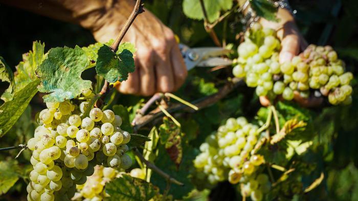 2018 anno record per vino Veneto, +48% produzione