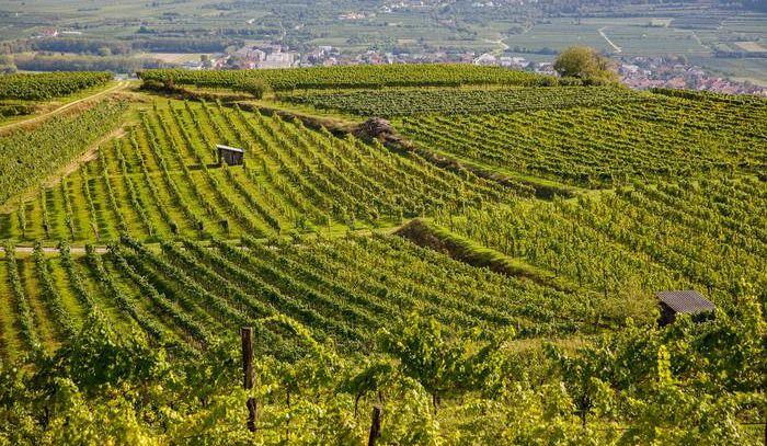 Girlan, il Pinot Nero è il futuro dell'Alto Adige