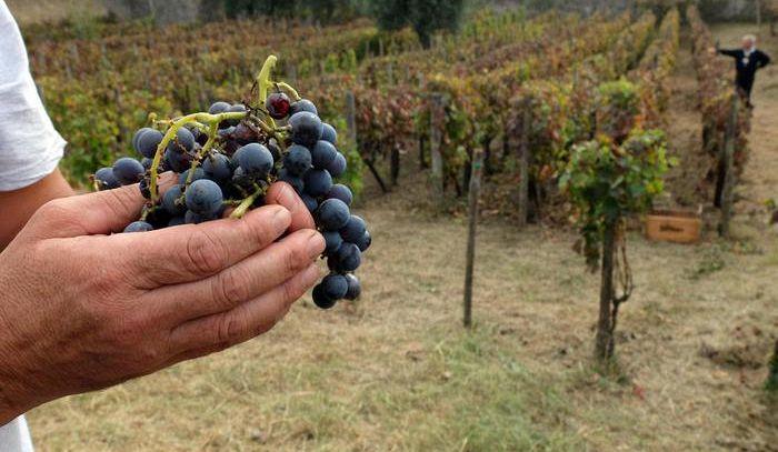 Da Regione Toscana ok ampliamento superfici Doc Bolgheri