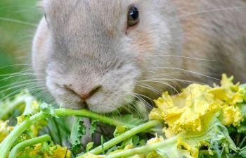 Cosa mangiano i conigli? Ecco la loro corretta alimentazione
