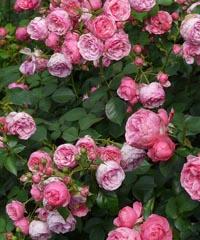 Festa delle Rose 2019