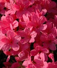 """Evento online gratuito """"Aspettando la fioritura: le azalee"""""""