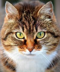 I gatti più belli del mondo in mostra a Longarone