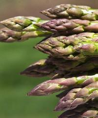 Sagra dell'asparago verde di Altedo IGP