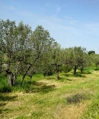 Camminata tra gli ulivi a Uri