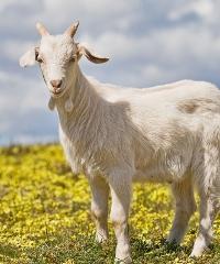 Les Batailles des Chèvres, la Battaglia delle capre 2018