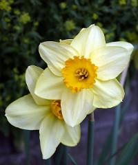 Bulbi fioriti nel giardino della principessa