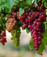 La sagra dell'uva