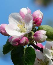 ANNULLATO Fiorinda la festa dei meli in fiore della Val di Non
