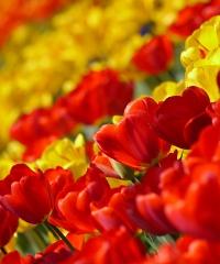Un angolo d'Olanda ad Arese con Tulip U-pick
