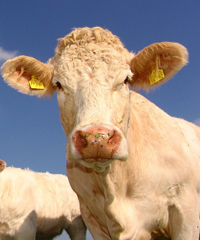 Antica fiera del bestiame