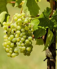 Festa dell'uva in Valle di Cembra