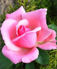 Sagra delle Rose a Fonte Nuova