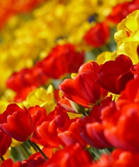 Tulipani Italiani: una visita virtuale al campo di tulipani più grande d'Italia
