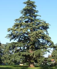Il cedro gigante dell'Himalaya