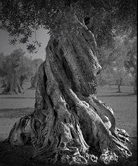 Gli ulivi di Puglia protagonisti di un progetto fotografico