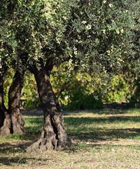 Camminata tra gli ulivi a Carpino