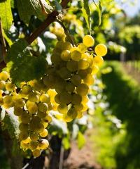 Grappoli d'uva e calici di vino a Tivoli