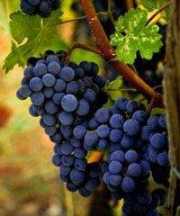 Torna la Festa dell'uva a Rescaldina 2019
