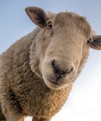Sagra della pecora 2020