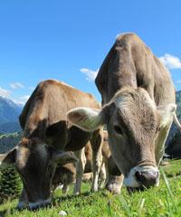Ritorno del bestiame dall'Alpeggio