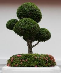 Bonsai Shohin Festival 2020, piccoli capolavori verdi