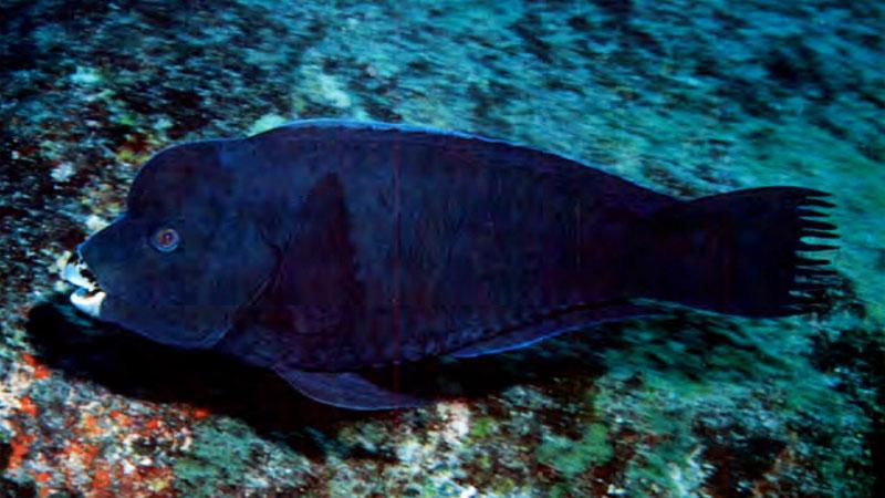 Specie aliene: è la volta del pesce pappagallo, esemplari pescati in Sicilia