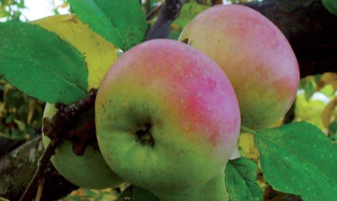 Bella e piena di gusto, la mela zitella è la regina delle tavole del Molise