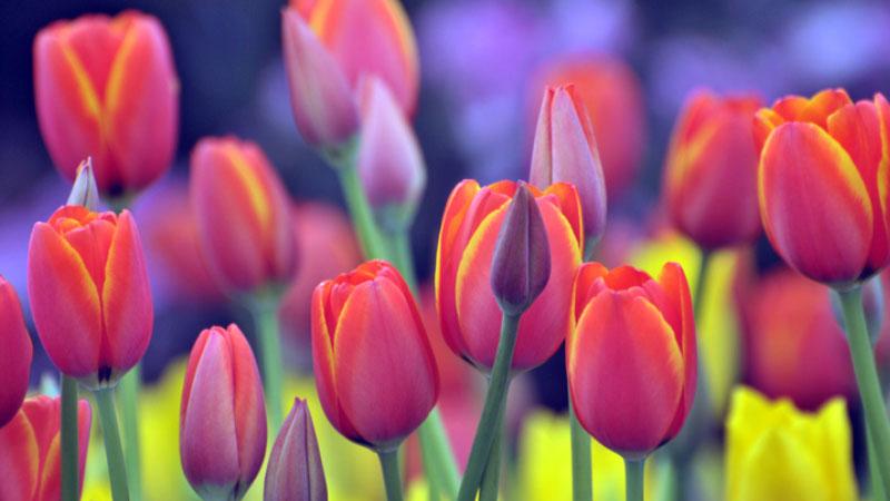 La primavera alle porte di Milano ha il profumo dei tulipani, riapre il campo che conta 350 mila bulbi