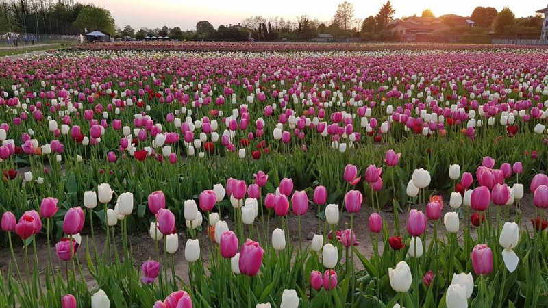 campo tulipani arese milano