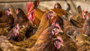 Adotta una gallina: la splendida iniziativa del Pollaio Sociale di Bologna