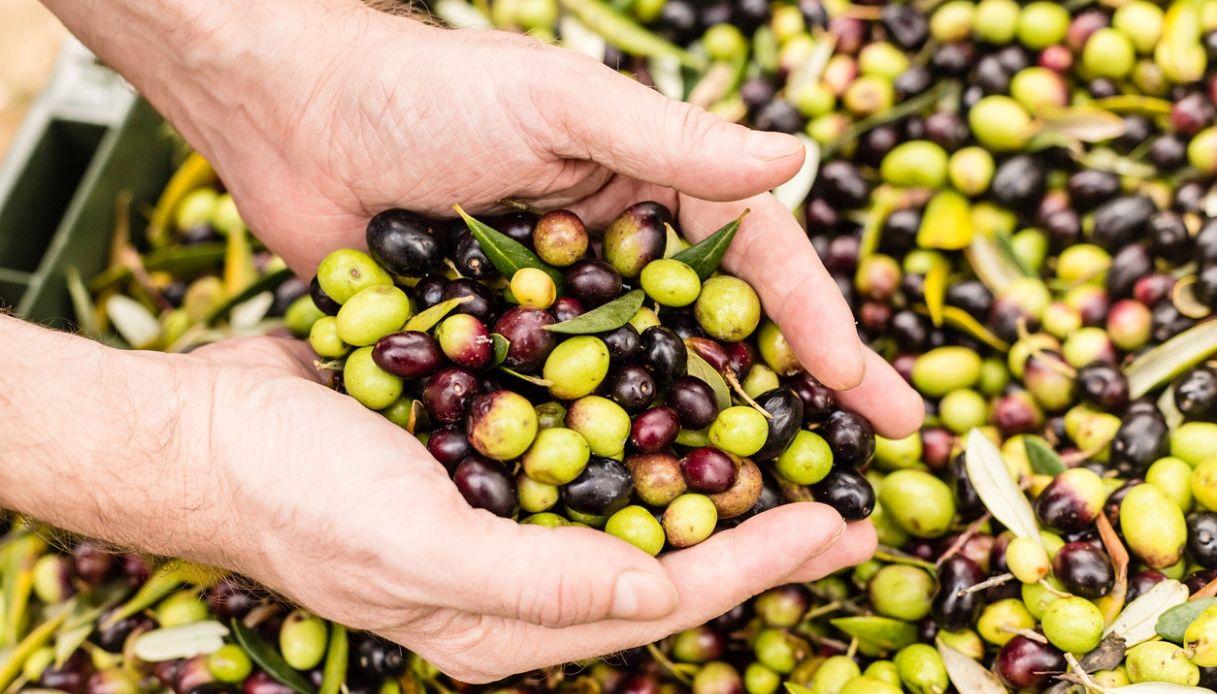 In Salento arriva il primo olio da alberi immuni alla Xylella