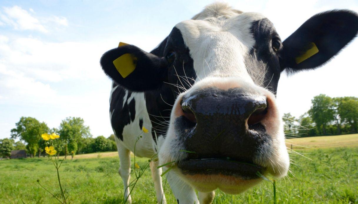 Adotta una mucca a distanza: l'idea in Val Vestino a Brescia