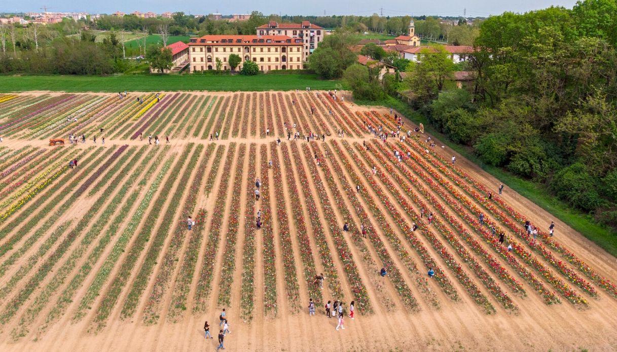Chiuso per Coronavirus: Tulipani Italiani ad Arese ora è virtuale