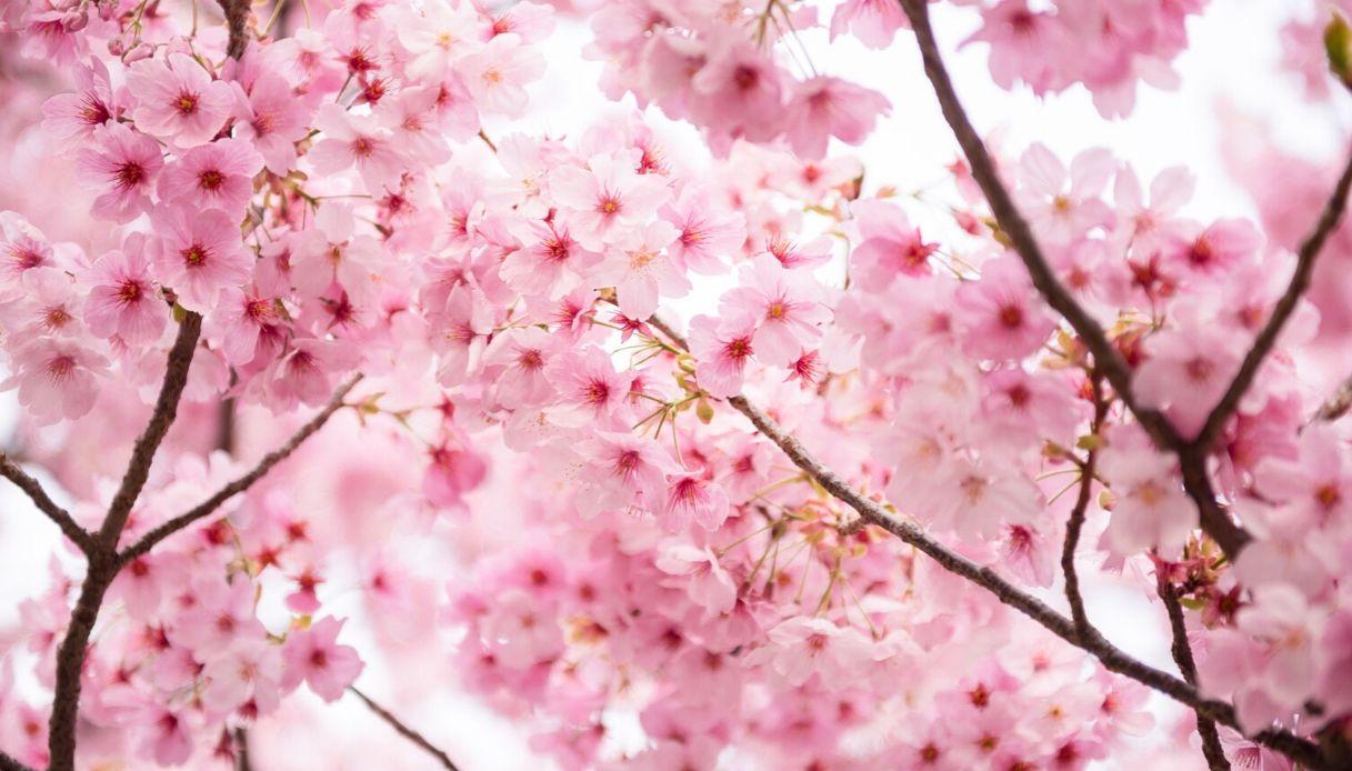 Scorta dei Carabinieri al ciliegio in fiore più bello d'Italia