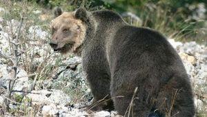 L'Orso M49 catturato sulle montagne del Trentino: la sua storia