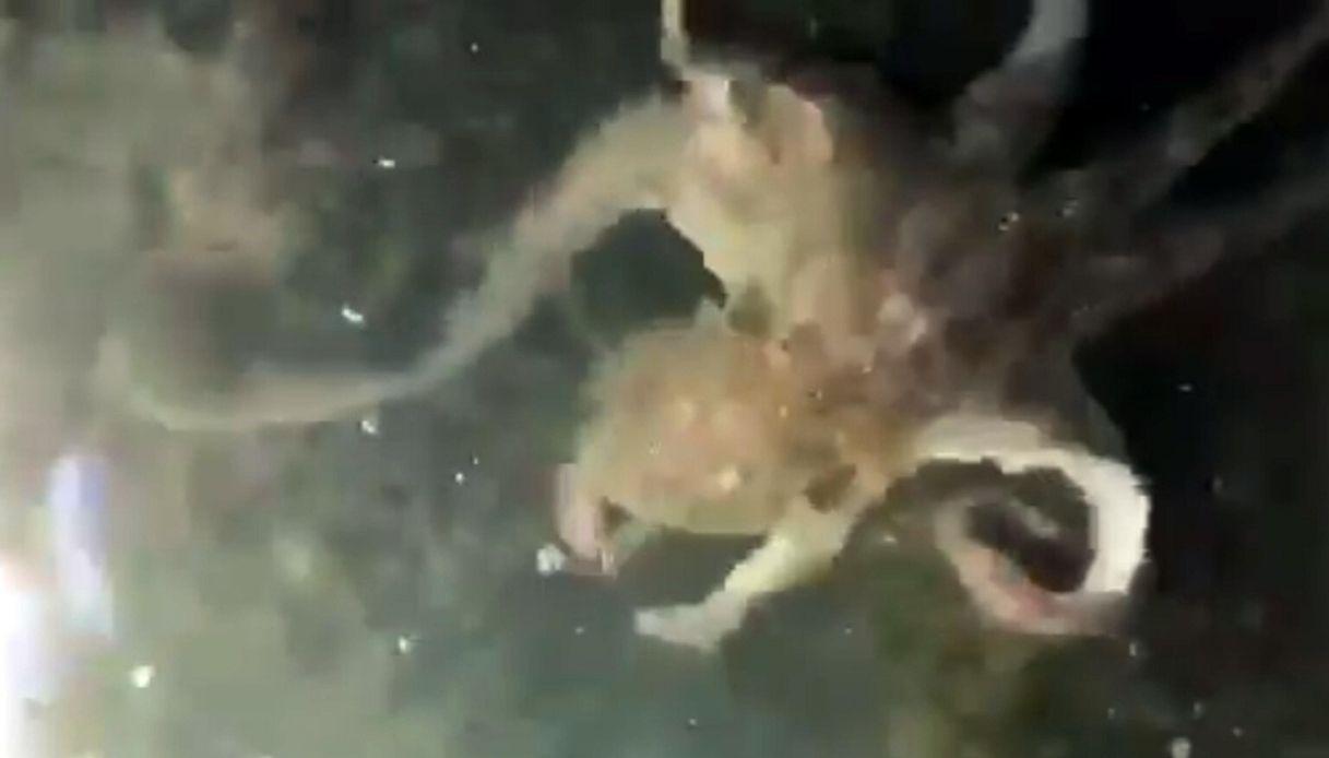 Effetto Coronavirus, a Venezia spunta anche un maxi polpo