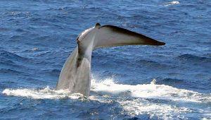 Codamozza, avvistata a Catania la balena senza coda