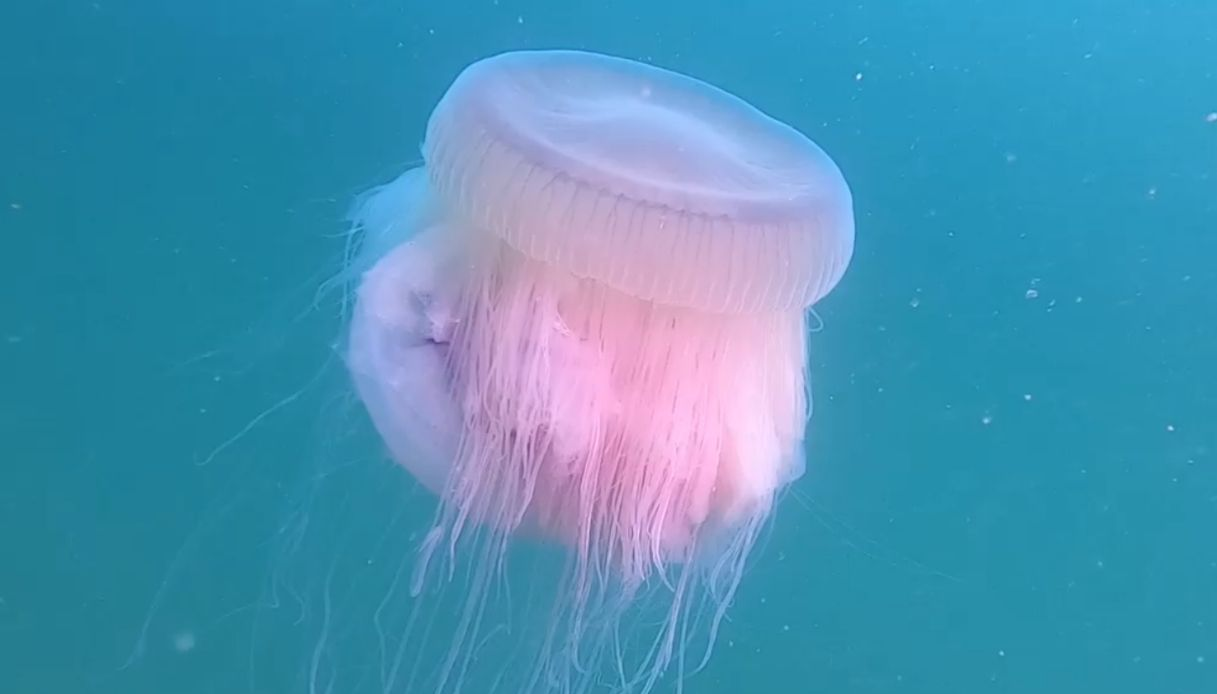 Medusa Drymonema dalmatinum