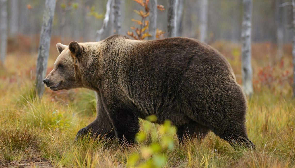 Orso avvistato in Piemonte: non succedeva da un secolo