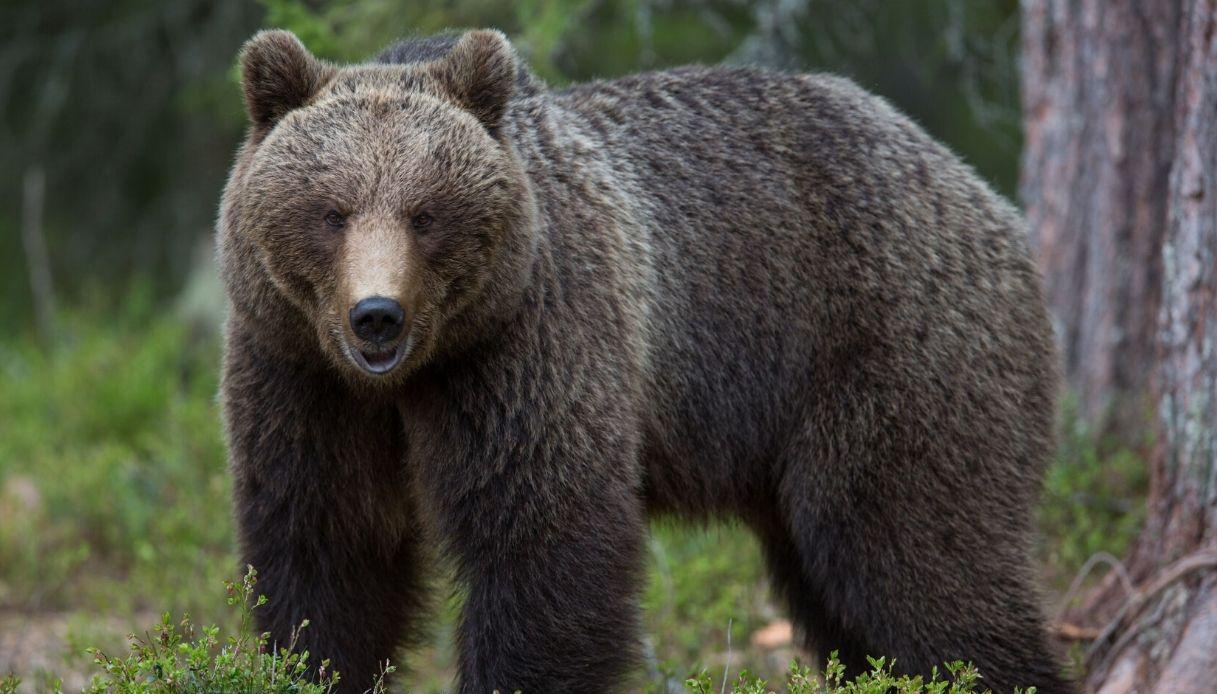 Trentino, incontro ravvicinato con un orso: padre e figlio feriti