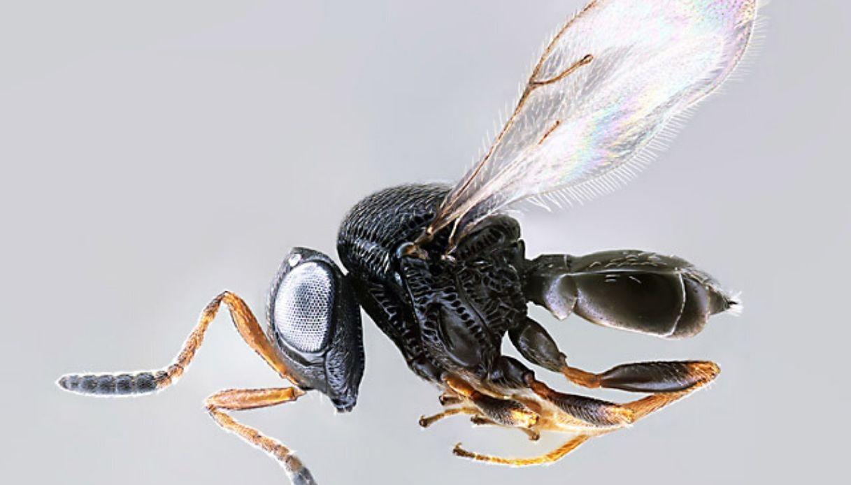 """La vespa samurai arriva in Italia: """"guerra"""" tra insetti al nord"""
