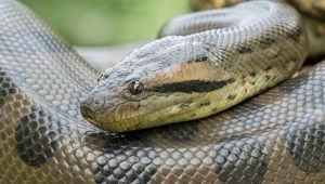 """""""Giallo"""" anaconda a Roccasecca dei Volsci: scatta l'allarme"""