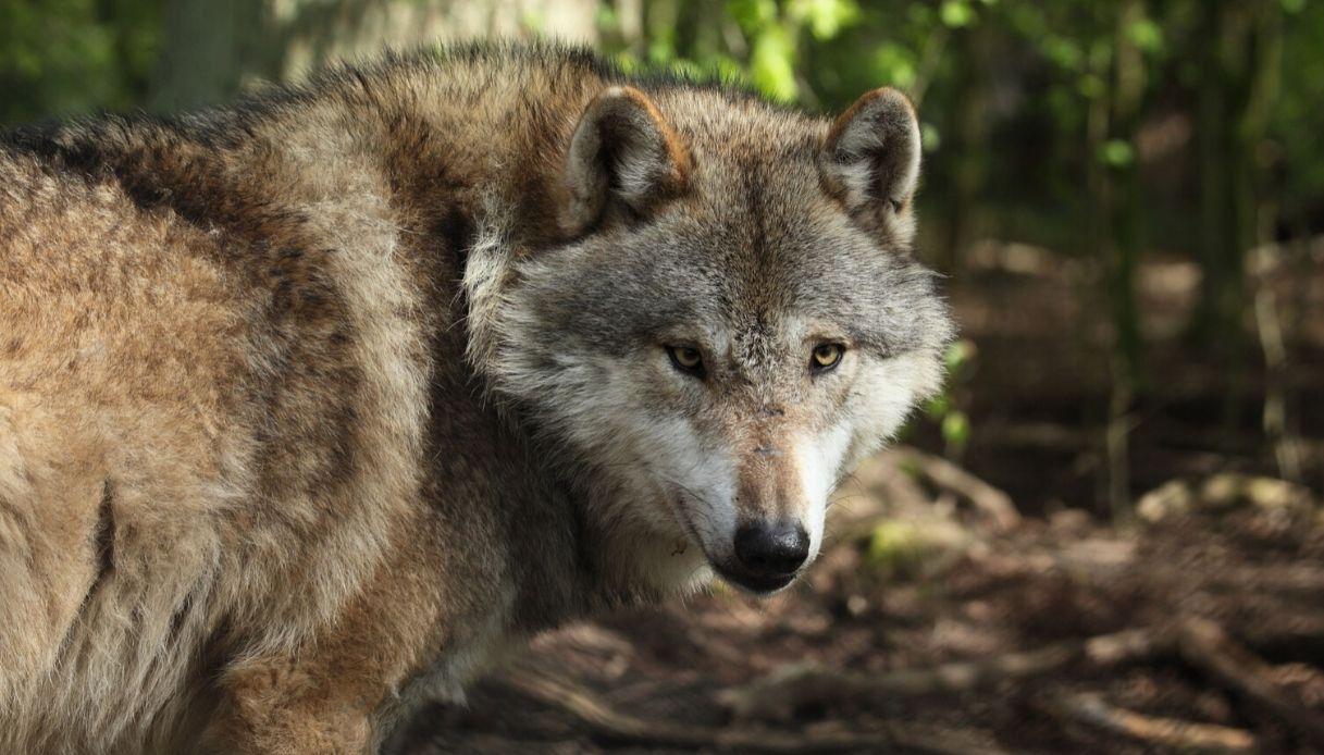 Il lupo di Otranto è stato catturato: aveva morso una turista